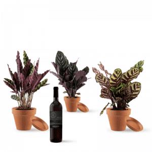 מארז צמחים קלתיאה